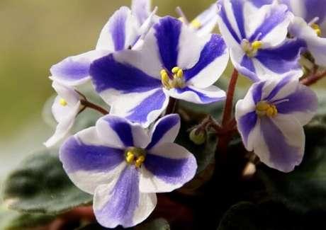 6- As violetas de cores mescladas são ótimas para fazer arranjos e centros de mesa. Fonte: Flickr