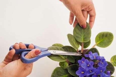 7- O manejo correto das violetas garantem por mais tempo as flores. Fonte: Revista Natureza