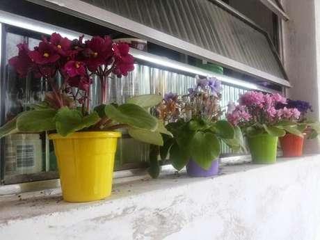 26- As violetas apreciam luminosidade. Fonte: Verde Mulher
