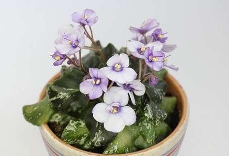 9- As violetas podem ser plantadas em vasos pequenos isoladamente ou em arranjos com mudas de cores diferentes. Fonte: Pixabay