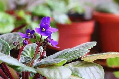 30- As violetas são flores que suportam a luz indireta do sol. Fonte: Universa-Uol