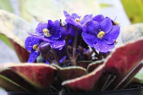 10 – Para regar as violetas você deve levantar delicadamente as folhas e umedecer a terra sem molhar as folhas. Fonte: Blog: Violetas nas Janelas