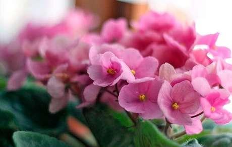 14- As violetas podem ser adubadas de três a quatro vezes por ano utilizando NPK 10-10-10. Fonte: Revista News