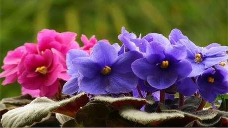 18- É possível colecionar uma grande variedade de violetas em diferentes cores, tamanhos e formatos. Fonte: Pinterest