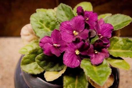 15- As folhas da violeta possuem pelos para impedir o excesso de água. Fonte: Oops Cachê