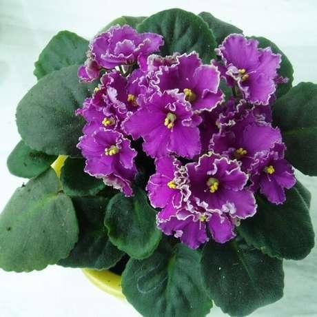 29- As violetas dobradas tem a borda das pétalas na cor branca. Fonte: AliExpress