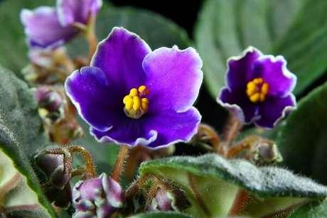 16- As violetas podem se reproduzir através do enraizamento das folhas. Fonte: IdeiasDecor