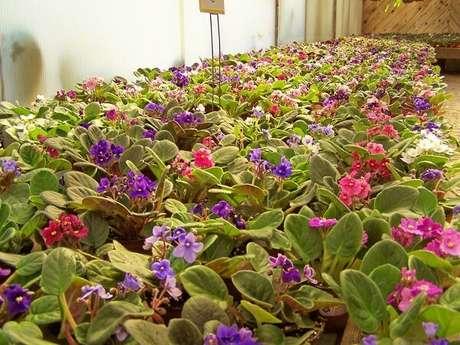 21- Nos Garden Centers é possível encontrar diversas variedades de violetas simples ou dobradas. Fonte: Ever Green Nursery