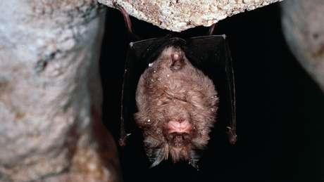 O morcego-de-ferradura-grande chinês (Rhinolophus ferrumequinum) é considerado o principal suspeito de ser a origem do surto de coronavírus
