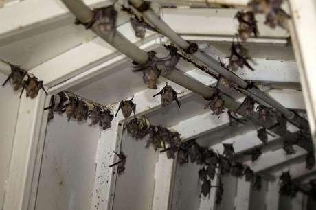 Os morcegos são a origem de muitos vírus