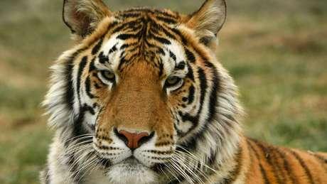 Nos Estados Unidos, há entre 5 mil e 10 mil tigres em cativeiro. Em todo o mundo, só há 4 mil desses animais em liberdade em seu habitat natural