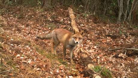 Uma raposa vermelha olha para uma das 106 câmeras que foram colocadas para estudar uma grande área