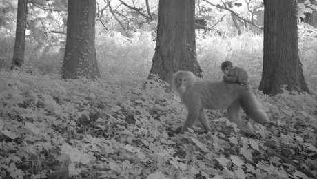 Dois macacos em uma área de Fukushima que foi atingida pelo acidente nuclear e permanece desabitada