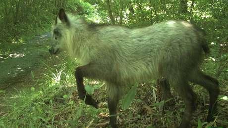 Este serau japonês é uma das 20 espécies que Beasley e sua equipe conseguiram detectar na área