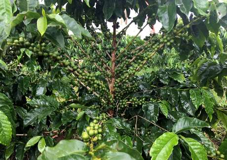Pés de café em Guaxupé (MG), área de atuação da Cooxupé  21/02/2018 REUTERS/José Roberto Gomes