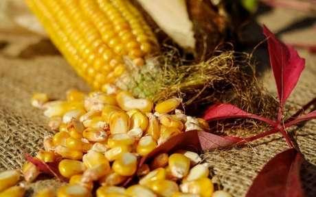 Foto de uma espiga de milho, com grãos jogados à mesa e duas folhas de planta vermelha