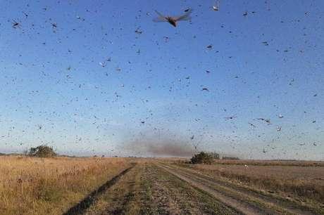 Autoridades do governo da Argentina informaram que uma nuvem de gafanhotos levantou voo na província de Corrientes e pode atravessar a fronteira com o Rio Grande do Sul.