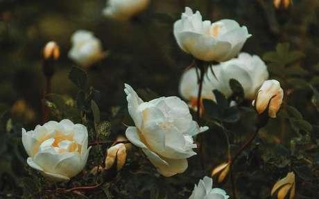 A rosa branca pode prevenir doenças e melhorar a aparência da pele - Crédito: Irina Iriser/Pexels