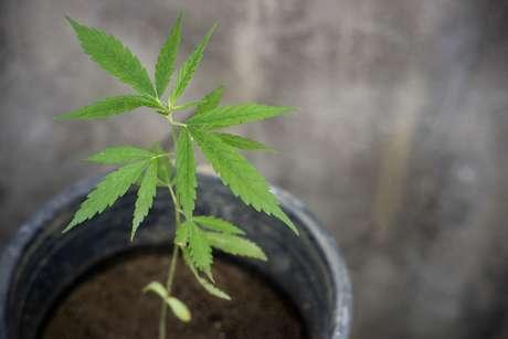 Família vai cultivar cannabis para ajudar no tratamento de filho autista
