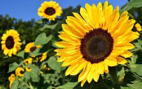 O girassol é um tipo de planta muito influenciada pelo Sol - Crédito: Ulrike Leone/Pixabay