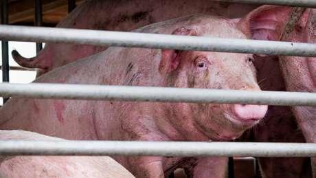 Cientistas descobriram evidências de infecção recente em pessoas que trabalhavam na indústria suína na China