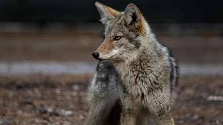 Defensores da vida dos animais condenam uso de dispositivos contra animais selvagens