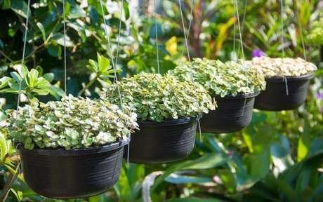 Vasos de planta dinheiro em penca