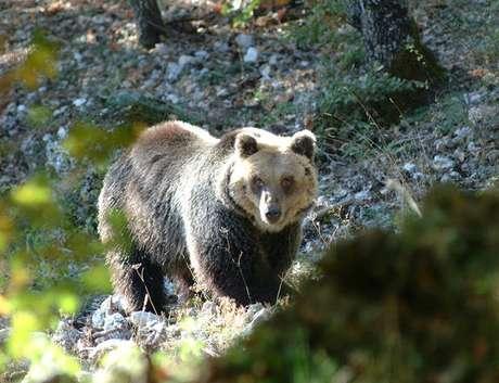 Urso em bosque no norte da Itália, em foto de arquivo