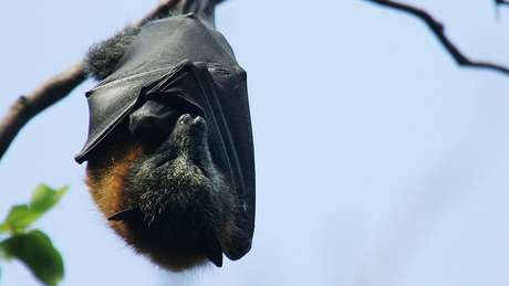 Você sabia que os morcegos podem viver até 40 anos?