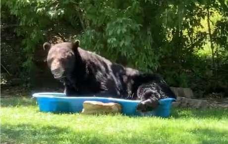 Urso brincou na piscina infantil dentro doquintal de Regina Keller no estado de Virgínia,Estados Unidos