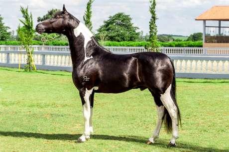 Cavalo Franco do Pec, da raça mangalarga, era considerado uma promessa em competições de equinos anos atrás