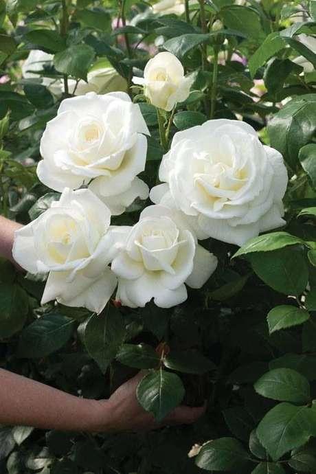 31. Rosa branca no jardim bonito – Via: Pinterest