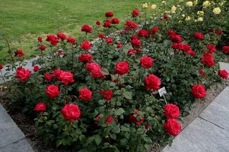2. Roseira no jardim de casa – Via: Pinterest