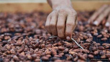 Pearson e Horsley usam os grãos puro nacional para produzir seu chocolate, o Fortunato No 4