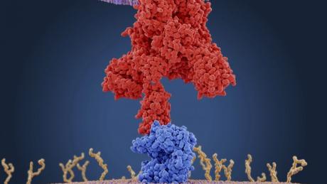 Ilustração de proteínas de ligação do coronavírus (vermelho) se conectando aos receptores da célula humana alvo (azul) — para os coronavírus, estes receptores são do tipo enzima conversora de angiotensina 2 (ECA2)