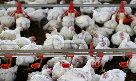 Criação de frangos 31/05/2016 REUTERS/Rodolfo Buhrer