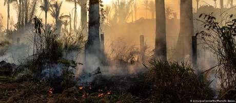 Muitas árvores maiores que sobrevivem ao fogo graças ao ambiente úmido acabam sucumbindo ao trauma
