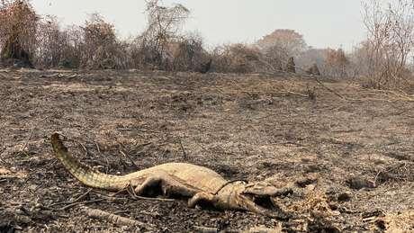 Nem todos os animais conseguem fugir a tempo das chamas que atingem o bioma