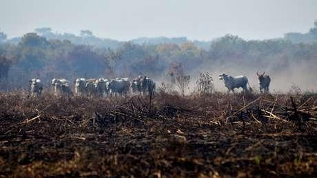 Diante do avanço do fogo, criações de gado são prejudicadas no Pantanal