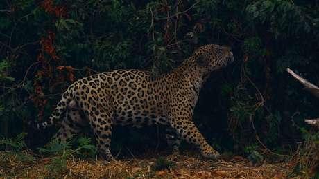 As onças-pintadas são consideradas quase ameaçadas de extinção pela União Internacional para a Conservação da Natureza