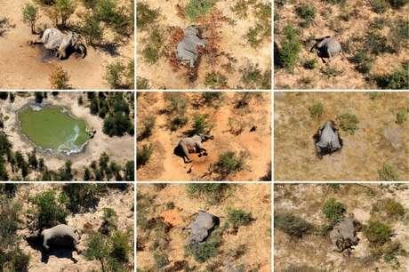 Conjunto de fotos de elefantes que morreram em maio e junho deste ano