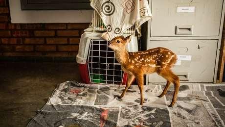 Filhote de cervo encontrado solitário recebe acompanhamento de voluntários