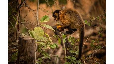 Macaco-prego se alimenta com mamão distribuido por voluntários no Pantanal