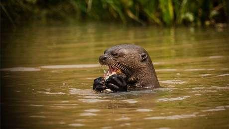 Ariranha se alimenta em rio