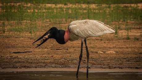 Tuiuiu se alimenta com peixe que encontrou no Pantanal
