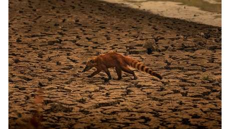 Quati busca por comida em meio ao cenário de seca no Pantanal