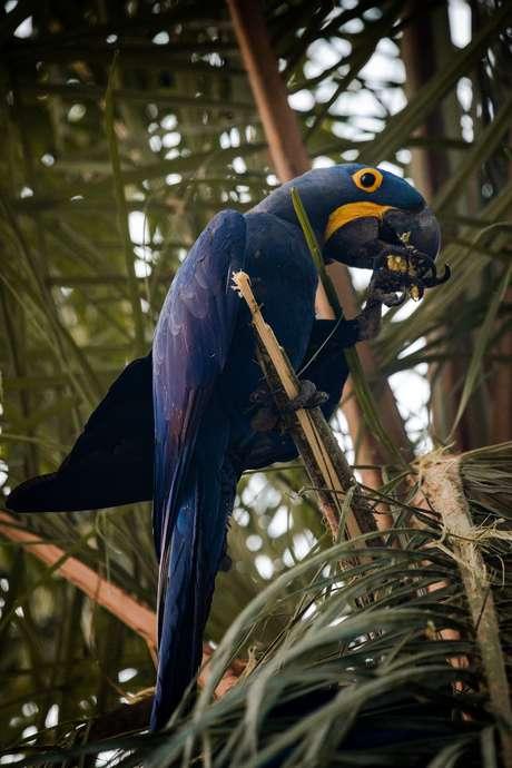 Arara-azul encontrada em pousada da região. Fazenda que tinha grande concentração da espécie no Pantanal foi duramente afetada pelo fogo.