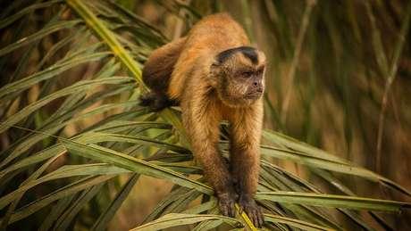 Antes de se aproximar de voluntários para pegar fruta, macaco-prego estava assustado, relata fotógrafo