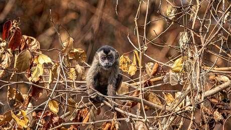 Em intensa busca por alimento, macaco-prego não encontrou comida em margem de rio