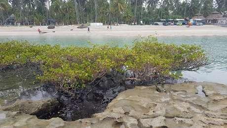 Manguezal em Pernambuco atingido por óleo no ano passado